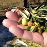 Productie hoge kwaliteit olijfolie