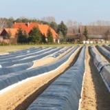 Vroege Hollandse asperges