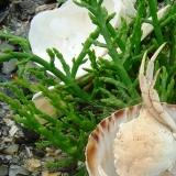 Zilte zeegroente