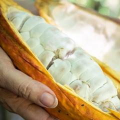 Cacao: hoe maak je daar chocola van?