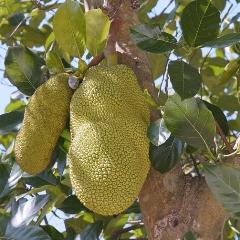 Is jackfruit het nieuwe superfood?