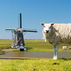 Texels lamsvlees